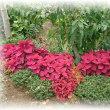 玄関前と庭の赤・赤・赤!