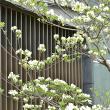 春の花の季節 part9 ハナミズキ②
