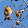 冬鳥のアトリ