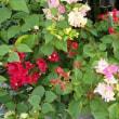 ブーゲンビリアの花が咲きだしました