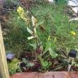 紅菜苔(コウサイタイ)の花が
