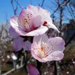 アーモンド - 東京都薬用植物園