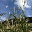 秋の風物詩 仙石原高原のススキ