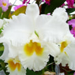 ●C.(Swing Time'Villa Park'x Old Whitey'Mount Empress') 実生開花例1