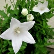 桔梗(ききょう)という花