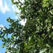 レモンの木、Lemon Tree