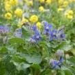 小学校の菜の花