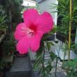 庭に咲いたタイタンビカス(続き)