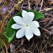 カンボジアで見た花④