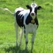 牛の視線を受ける