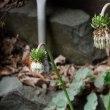 シロバナフジアザミ(白花富士莇)
