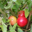 中玉トマト 初収穫