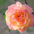 平和記念公園のバラ