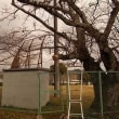運動場周辺の側枝の伐採。