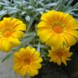 【銀葉ガザニア(クンショウギク)   】Gazania ハッと!目の覚める程の花色とシルバーリーフ(銀葉)と呼ばれる白い葉のガザニア