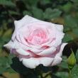 旧古河庭園・・・「春ばら(薔薇)」(その3) !!