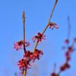 赤いマンサクの花