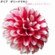 ダリア 〈赤に白の縁取り花弁〉