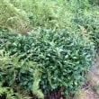 墓参と茶畑