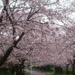 雨の桜 春の道