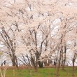 大きな桜の樹のしたで。
