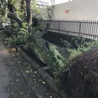 桜通りで倒木(台風24号)