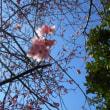 サクラが3分咲きくらいです ソメイヨシノではないが、春です!!