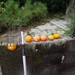 最後の柿を採る