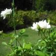 まだ咲いてます バラのアイスバーグ