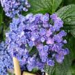 紫陽花は雨が似合う