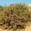 サルソラ・ヴェルミクラタ Salsola vermiculata