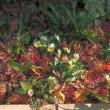 12/10 エリア1 ミニバラと紅葉の絨毯