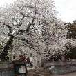 ボランティアの花見と桜