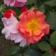 「春のバラフェスタ②」/神代植物公園