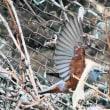 昨日の鳥 イソヒヨドリ 第2弾 別の鳥を探しに行きましたが現れず残念。
