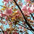 八重桜が咲き始めました