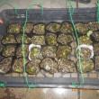 ハクサイ・キャベツの種を蒔きなおしました