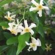 季節の花「定家葛 (ていかかずら)」