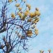 白木蓮が咲いてます。