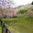 最後の最後の桜