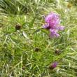 斜面にケンタウレア・プセウドフリギアの花が咲いている