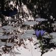 行く秋に睡蓮 ~ モネの庭から(その303)
