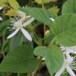 センニンソウ(キンポウゲ科・センニンソウ属)常緑つる性半低木