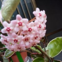 咲いた・・咲いた・・・桜・蘭。・・・