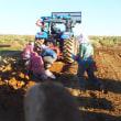 今年最後の長芋収穫作業に参加