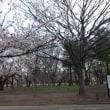 桜さき 心くもる これじゃイケナイ