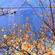湖畔のロウバイ、桐生川ダム湖(梅田湖)にて、2018年1月