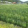 新町の麦畑