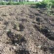 サツマイモの収穫開始