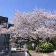 駒込の桜を観る